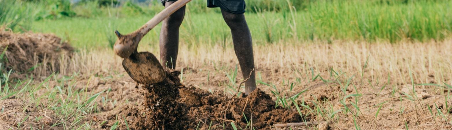 Wurzeln werden aus dem Erdboden gegraben