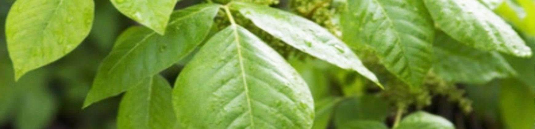 Giftsumach Toxicodendron quercifolium